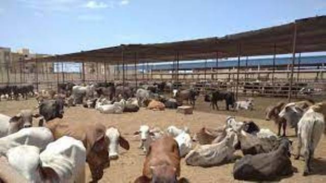 محطة تسمين الماشية بجنوب بورسعيد